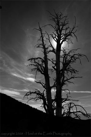 Bristlecone Pine Silhouette - Inyo National Forest, California 2008