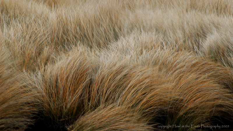 Grass in the Wind - North Carolina Coast 2005
